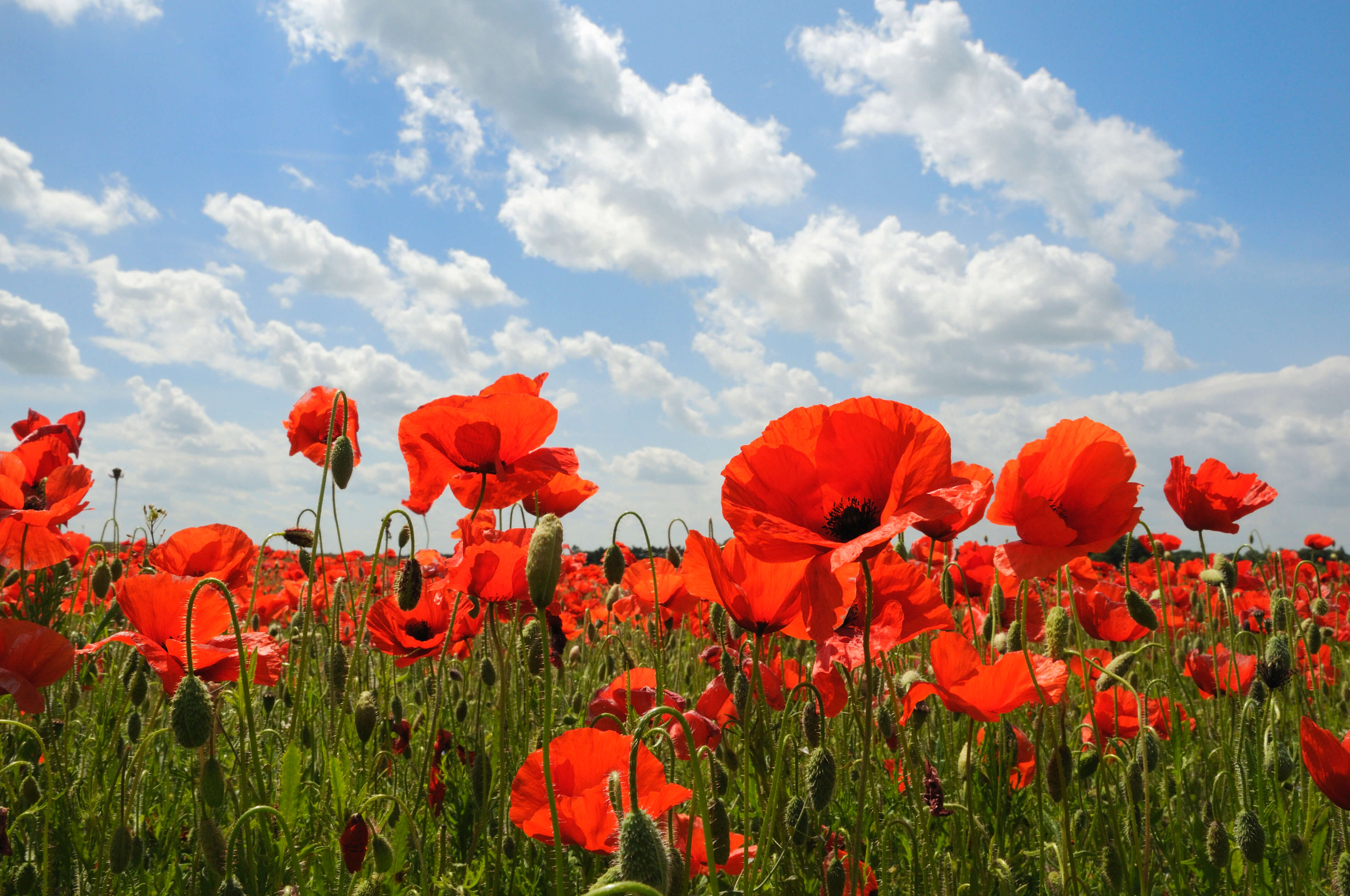 Symbolism of flowers in poetry literature of the great war jordan even made a separate blog post earlier in the semester about the art installation of poppies which i conveniently linked here mightylinksfo